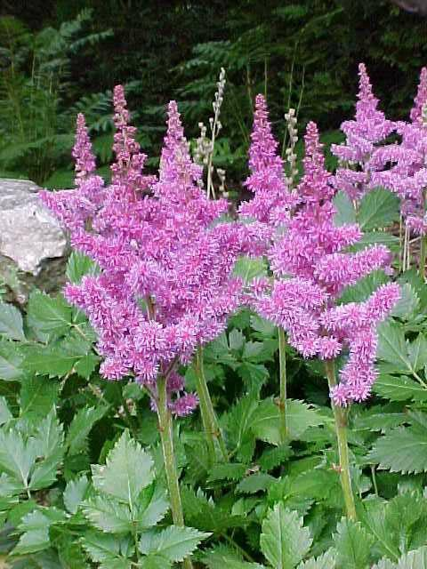 "Chinese astilbe ""Vision in Pink"""